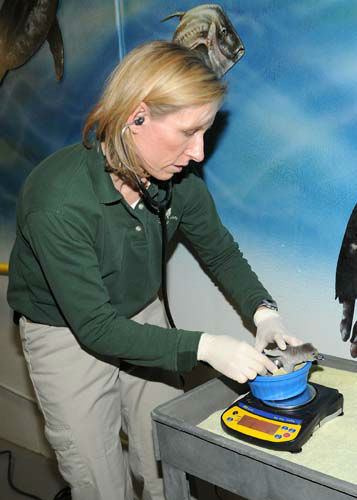 "<div class=""meta ""><span class=""caption-text "">Jennifer Langan, DVM, Dipl. ACZM, associate veterinarian for the Chicago Zoological Society, examines a 7-day-old Humboldt penguin chick that hatched at the zoo on February 20. The egg was laid by a pair of penguins at Columbus Zoo but the parents had difficulties incubating the egg due to the Arctic blast that swept through Ohio. The egg was brought to Brookfield Zoo, based on a recommendation of the Association of Zoos and Aquariums Humboldt Penguin Species Survival Plan, and given to foster parents to continue the incubation process. (Photo/Jim Schulz)</span></div>"