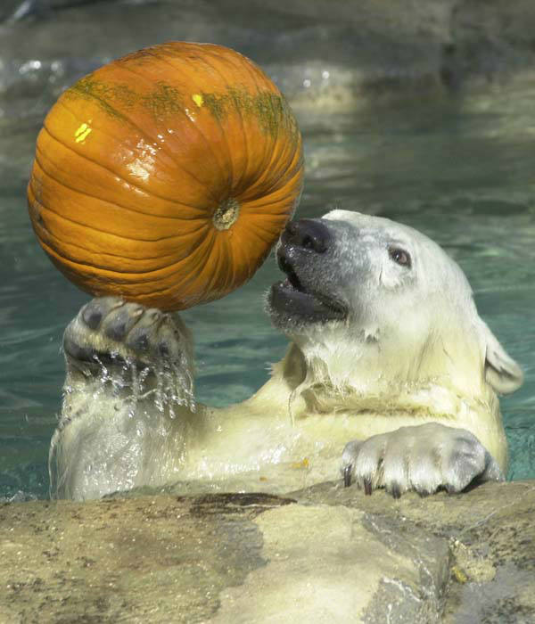 Kinapak, a polar bear at the Brookfield Zoo in Brookfield, Ill., enjoys a pumpkin as a special Halloween treat on Saturday, Oct. 27, 2001. Many of the animals received the pumpkins as part of the zoo&#39;s behavioral enrichment program. &#40;AP Photo&#47;Chicago Zoological Society, Jim Schulz&#41; <span class=meta>(AP Photo&#47; JIM SCHULZ)</span>