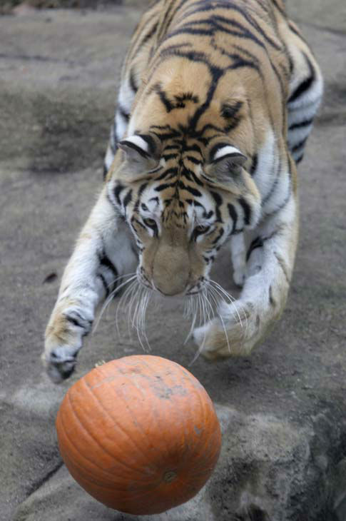 Whirl, a two-and-a-half-year-old Amur Tiger chases a pumpkin at Chicago Zoological Society&#39;s Brookfield Zoo in Brookfield, Ill. on Wednesday, Oct. 28, 2009. With the Halloween season upon us, several of the animals, including lions, tigers, polar bears, brown bears, and the gorillas, were given pumpkins to enjoy and play with as part of the zoowide behavioral enrichment program. &#40;AP Photo&#47;M. Spencer Green&#41; <span class=meta>(AP Photo&#47; M. Spencer Green)</span>