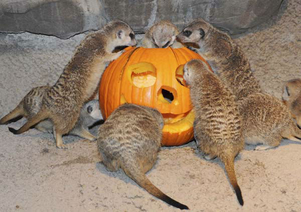 In this photo taken Oct. 20, 2011 provided by the Chicago Zoological Society, curious meerkats swarm around a pumpkin as part of an enrichment program at Brookfield Zoo, in preparation for Brookfield Zoo?s weekend Halloween events, ?Creatures of the Night? and ?Boo! at the Zoo.? &#40;AP Photo&#47;Chicago Zoological Society, Jim Schulz&#41; <span class=meta>(AP Photo&#47; Jim Schulz)</span>