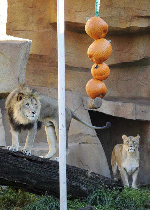 In this photo taken Oct. 20, 2011 provided by the Chicago Zoological Society, African lions Isis, right, and Zenda, eye a rope of pumpkins in their enclosure as part of an enrichment program at Brookfield Zoo in Brookfield, Ill., in preparation for zoo&#39;s weekend Halloween events, ?Creatures of the Night? and ?Boo! at the Zoo.? &#40;A&#40;P Photo&#47;Chicago Zoological Society, Jim Schulz&#41; <span class=meta>(AP Photo&#47; Jim Schulz)</span>