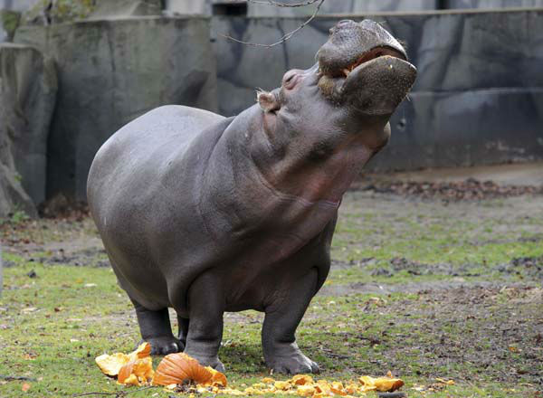 This photo taken Thursday, Oct. 27, 2011 and provided by the Chicago Zoological Society, shows Wicket, a 42-year-old Nile hippopotamus, enjoying a pumpkin treat at Brookfield Zoo in Brookfield, Ill. &#40;AP Photo&#47;Chicago Zoological Society, Jim Schulz&#41; <span class=meta>(AP Photo&#47; Jim Schulz)</span>