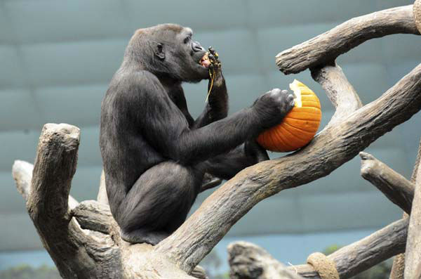 This photo taken Thursday, Oct. 27, 2011 and provided by the Chicago Zoological Society, shows Kamba, a 7-year-old western lowland gorilla, enjoying a Halloween treat at Brookfield Zoo in Brookfield, Ill. &#40;AP Photo&#47;Chicago Zoological Society, Jim Schulz&#41; <span class=meta>(AP Photo&#47; Jim Schulz)</span>