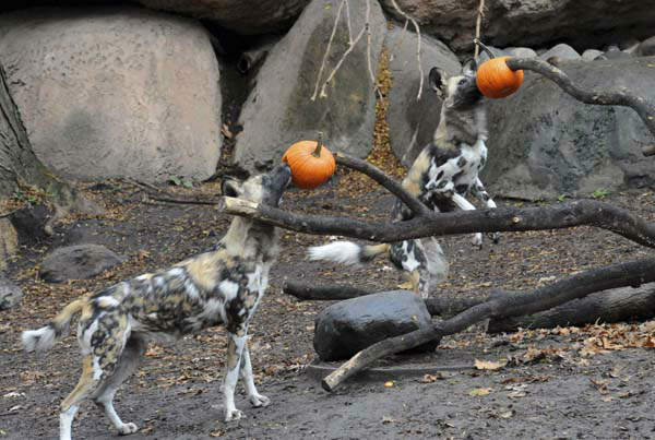 This photo taken Thursday, Oct. 27, 2011 and provided by the Chicago Zoological Society, shows a pair of African wild dogs enjoying Halloween treats at Brookfield Zoo in Brookfield, Ill. &#40;AP Photo&#47;Chicago Zoological Society, Jim Schulz&#41; <span class=meta>(AP Photo&#47; Jim Schulz)</span>
