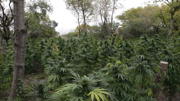"<div class=""meta ""><span class=""caption-text "">Marijuana plants are seen in Chicago where officers say they discovered two football fields worth of pot plants growing on the city's South Side Wednesday, Oct. 3, 2012.  Authorities say more than 1,000 cannabis plants were discovered during a helicopter operation Tuesday. Some were as tall as Christmas Trees. (AP Photo/Teresa Crawford)</span></div>"