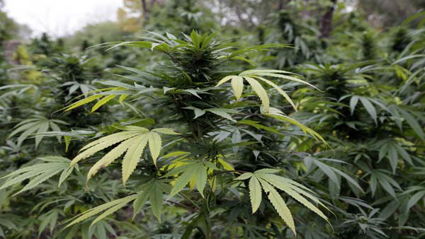 Marijuana plants are seen in Chicago where officers say they discovered two football fields worth of pot plants growing on the city's South Side Wednesday, Oct. 3, 2012.  Authorities say more than 1,000 cannabis plants were discovered during a helicopter operation Tuesday. Some were as tall as Christmas Trees. (AP Photo/Teresa Crawford)