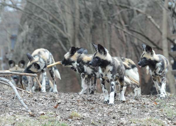 Back in November, at Brookfield Zoo, an African wild dog named