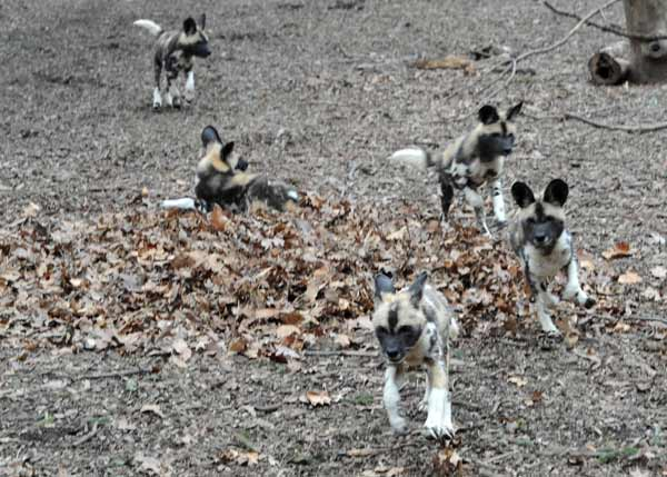 "Back in November, at Brookfield Zoo, an African wild dog named ""Kim"" gave birth to 10 healthy puppies. Now, at last, the puppies are on public display."