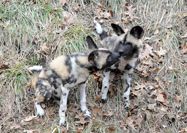 "<div class=""meta ""><span class=""caption-text "">Back in November, at Brookfield Zoo, an African wild dog named ""Kim"" gave birth to 10 healthy puppies. Now, at last, the puppies are on public display.</span></div>"
