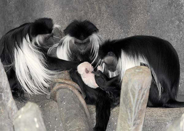 An Angolan colobus monkey born at Brookfield Zoo on March 9 is pictured with its mom, Olivia &#40;center&#41;, its aunt, Chaka &#40;left&#41; and grandmother, Tina.  <span class=meta>(Photo&#47;Jim Schulz&#47;Chicago Zoological Society)</span>