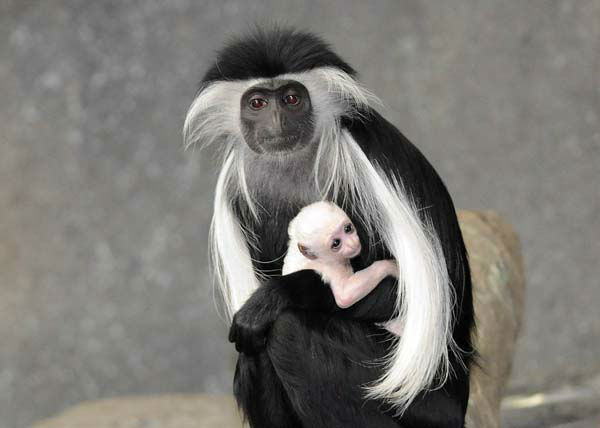 "<div class=""meta ""><span class=""caption-text "">An Angolan colobus monkey born at Brookfield Zoo on March 9 is pictured with its mom, Olivia. (Photo/Jim Schulz/Chicago Zoological Society)</span></div>"