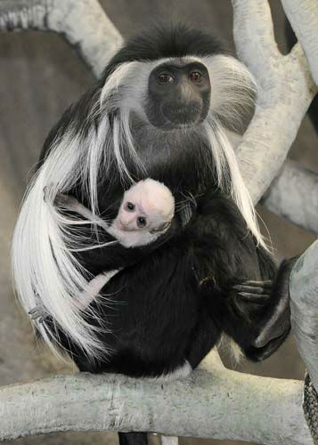 An Angolan colobus monkey born at Brookfield Zoo on March 9 is pictured with its mom, Olivia.   <span class=meta>(Photo&#47;Jim Schulz&#47;Chicago Zoological Society)</span>