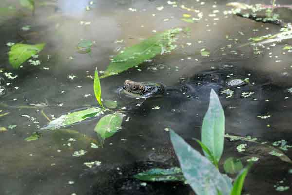 "<div class=""meta image-caption""><div class=""origin-logo origin-image ""><span></span></div><span class=""caption-text"">A Blanding's turtle in her new home?an outdoor pond at Brookfield Zoo. The turtle is part of a breeding program in collaboration with the Chicago Zoological Society, which manages the zoo, the Forest Preserve District of DuPage County, and several other local organizations. The goal of the program is to improve breeding and rearing techniques that will increase the number of turtles available for release to help bolster the wild population in DuPage County. Blanding's turtles are an endangered species in Illinois and threatened nationwide. (Jim Schulz/Chicago Zoological Society)</span></div>"