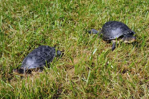 "<div class=""meta ""><span class=""caption-text "">Blanding's turtles making their way to their new home -- an outdoor pond at Brookfield Zoo. The turtles are part of a breeding program in collaboration with the Chicago Zoological Society, which manages the zoo, the Forest Preserve District of DuPage County, and several other local organizations. The goal of the program is to improve breeding and rearing techniques that will increase the number of turtles available for release to help bolster the wild population in DuPage County. Blanding's turtles are an endangered species in Illinois and threatened nationwide (Jim Schulz/Chicago Zoological Society)</span></div>"