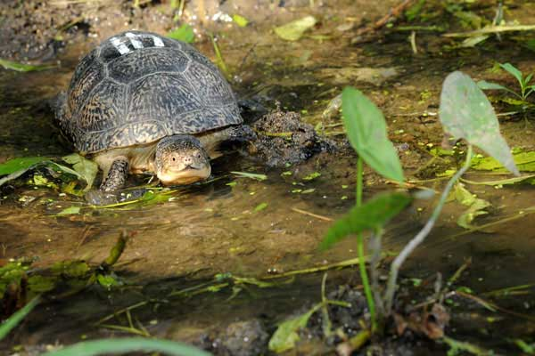"<div class=""meta image-caption""><div class=""origin-logo origin-image ""><span></span></div><span class=""caption-text""> A Blanding's turtle in her new home?an outdoor pond at Brookfield Zoo. The turtle is part of a breeding program in collaboration with the Chicago Zoological Society, which manages the zoo, the Forest Preserve District of DuPage County, and several other local organizations. The goal of the program is to improve breeding and rearing techniques that will increase the number of turtles available for release to help bolster the wild population in DuPage County. Blanding's turtles are an endangered species in Illinois and threatened nationwide. (Jim Schulz/Chicago Zoological Society)</span></div>"