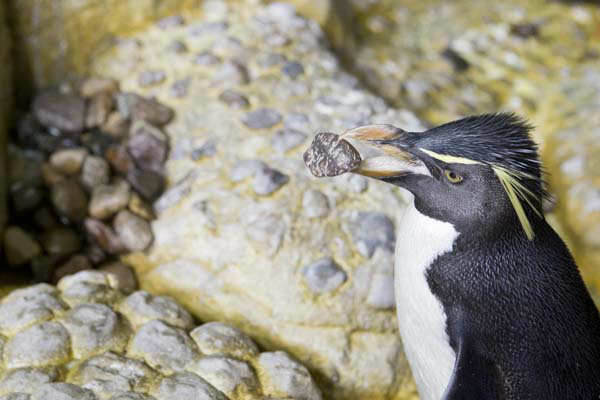 "<div class=""meta image-caption""><div class=""origin-logo origin-image ""><span></span></div><span class=""caption-text"">Penguins build love nests at Shedd Aquarium (Photo/Brenna Hernandez)</span></div>"
