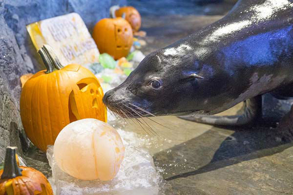 "<div class=""meta image-caption""><div class=""origin-logo origin-image ""><span></span></div><span class=""caption-text"">Animals at Chicago's Shedd Aquarium celebrate Halloween with treats- not tricks! (WLS Photo/ Shedd Aquarium)</span></div>"