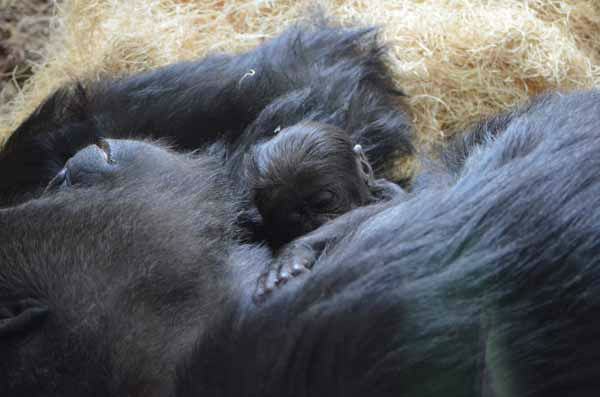 Lincoln Park Zoo is showing off its healthy baby western lowland gorilla, born on October 11, 2012. <span class=meta>(Tony Gnau&#47;Lincoln Park Zoo)</span>