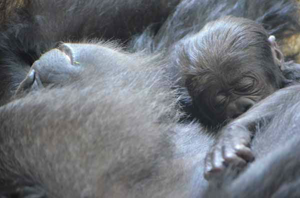 "<div class=""meta image-caption""><div class=""origin-logo origin-image ""><span></span></div><span class=""caption-text"">Lincoln Park Zoo is showing off its healthy baby western lowland gorilla, born on October 11, 2012. (Tony Gnau/Lincoln Park Zoo)</span></div>"