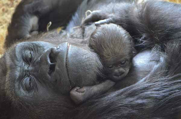 "<div class=""meta ""><span class=""caption-text "">Lincoln Park Zoo is showing off its healthy baby western lowland gorilla, born on October 11, 2012. (Tony Gnau/Lincoln Park Zoo)</span></div>"