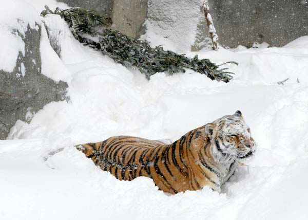Unlike some Chicagoland residents who can?t wait for winter to be over, Max, a 3 year-old Amur tiger at Brookfield Zoo, seems to be enjoying the recent snowfall. <span class=meta>(WLS Photo)</span>