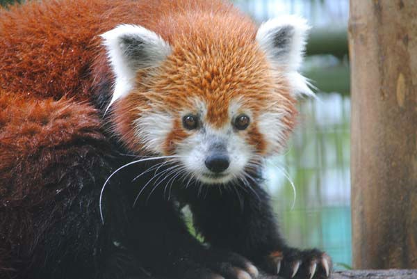 "<div class=""meta ""><span class=""caption-text "">Photos of an 8-year-old red panda is now at home at Mesker Park Zoo. The animal is the first of its kind at the Indiana zoo. (Evansville Courier & Press (Jessica Wray))</span></div>"