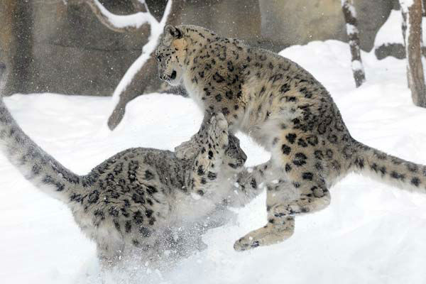 Everest, a 7-month-old snow leopard at Brookfield Zoo, and his mother, Sarani, 3, seem to be enjoying the recent snowfall that hit the Chicago area today, February 5. <span class=meta>(WLS Photo)</span>