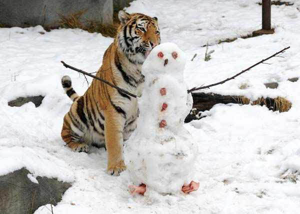 Max, a 2-year-old Amur tiger at Brookfield Zoo, gets a wintry treat of a snowman with meat for eyes and buttons, as well as bones for feet.  <span class=meta>(Photo&#47;Jim Schulz&#47;Chicago Zoological Society)</span>