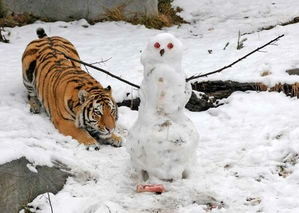 Max a 2-year-old Amur tiger at Brookfield Zoo, gets ready to pounce on a snowman his keepers made for him today, February 27. The snowman, which didn&#39;t stand a chance, featured meat for eyes and buttons, as well as bones for feet.  <span class=meta>(Photo&#47;Jim Schulz&#47;Chicago Zoological Society)</span>