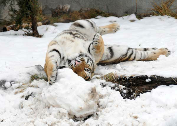 Max, a 2-year-old Amur tiger, plays with what is left of a snowman that his keepers made for him today, February 27, at Brookfield Zoo.   <span class=meta>(Photo&#47;Jim Schulz&#47;Chicago Zoological Society)</span>