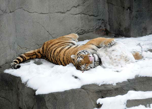 Max, a 2-year-old Amur tiger, plays with what is left of a snowman that his keepers made for him today, February 27, at Brookfield Zoo. Before being knocked down, the snowman featured meat for eyes and buttons, as well as bones for feet.  <span class=meta>(Photo&#47;Jim Schulz&#47;Chicago Zoological Society)</span>