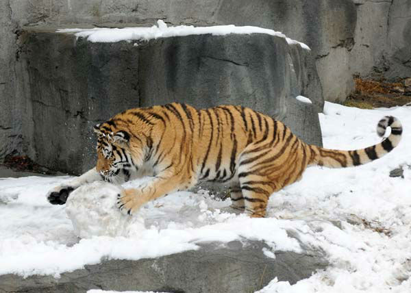 "<div class=""meta image-caption""><div class=""origin-logo origin-image ""><span></span></div><span class=""caption-text"">Max, a 2-year-old Amur tiger, plays with what is left of a snowman that his keepers made for him today, February 27, at Brookfield Zoo.  (Photo/Jim Schulz/Chicago Zoological Society)</span></div>"