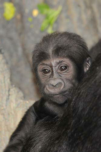 "<div class=""meta ""><span class=""caption-text "">Brookfield Zoo's 4-month-old baby gorilla has a name: Nora.  (Jim Schulz/Chicago Zoological Society)</span></div>"