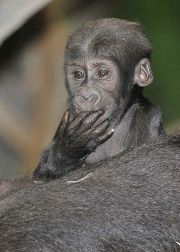Nora was born on November 4, 2013 to Koola, 18.  <span class=meta>(Jim Schulz&#47;Chicago Zoological Society)</span>