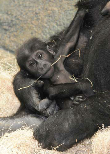 Brookfield Zoo&#39;s 4-month-old baby gorilla has a name: Nora.  <span class=meta>(Jim Schulz&#47;Chicago Zoological Society)</span>