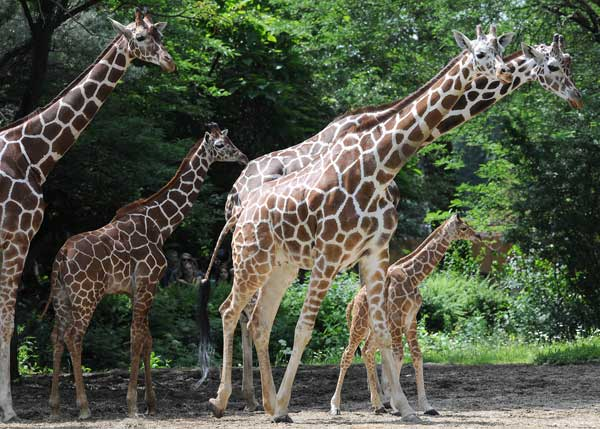 A giraffe calf born on June 21 at Brookfield Zoo can be seen outdoors at the zoo&#39;s Habitat Africa! The Savannah exhibit with other members of the giraffe herd?&#40;left to right&#41; Arnieta, 5; the calf&#39;s half-brother Dave, 8 months old; the calf&#39;s mom Jasiri, 7&frac12;; and Franny, 21. <span class=meta>(Jim Schulz&#47;Chicago Zoological Society)</span>