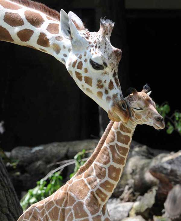 Jasiri, a 7&frac12;-year-old giraffe at Brookfield Zoo, and her calf. He was born on June 21 <span class=meta>(Jim Schulz&#47;Chicago Zoological Society)</span>