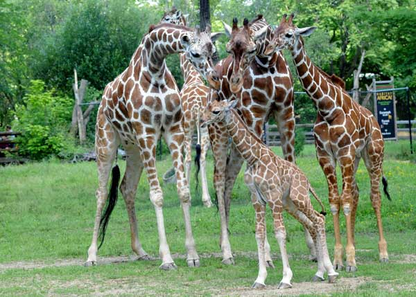 A male giraffe calf born on June 21 at Brookfield Zoo seems to be the center of attention with other members of the giraffe herd?&#40;left to right&#41; the calf&#39;s mom Jasiri, 7&frac12;; Arnieta, 5; and the calf&#39;s half-brother Dave, 8 months old.   <span class=meta>(Jim Schulz&#47;Chicago Zoological Society)</span>