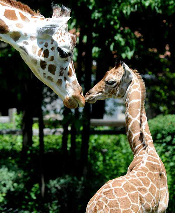 "<div class=""meta image-caption""><div class=""origin-logo origin-image ""><span></span></div><span class=""caption-text"">Jasiri, a 7½-year-old giraffe at Brookfield Zoo, and her calf. He was born on June 21 (Jim Schulz/Chicago Zoological Society)</span></div>"
