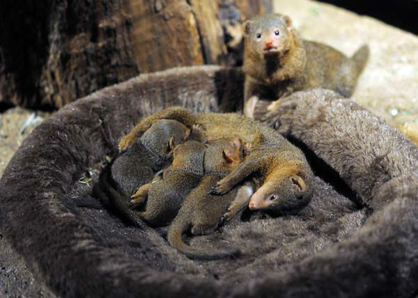 "<div class=""meta image-caption""><div class=""origin-logo origin-image ""><span></span></div><span class=""caption-text"">Three Dwarf Mongoose pups were born at Brookfield Zoo on September 13. The puppies are out of their nest and now on exhibit at Habitat Africa: Kopje. (Jim Schulz/Chicago Zoological Society)</span></div>"