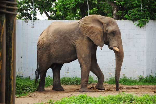 "<div class=""meta ""><span class=""caption-text "">Tantor, a 47-year-old African bush elephant at Barranquilla Zoo in Colombia, South America. (Photo/Barranquilla Zoo)</span></div>"