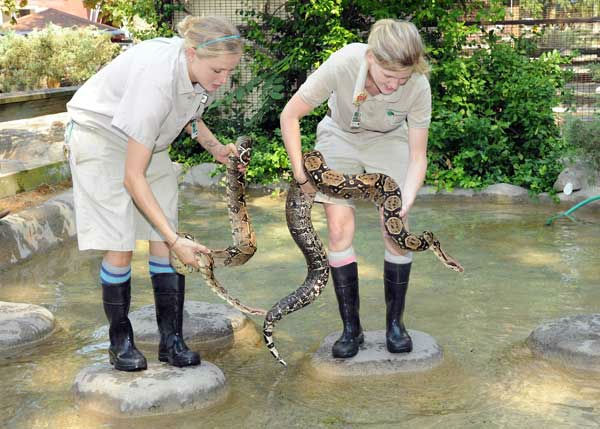Katelyn Stache &#40;left&#41; and Maggie Chardell, zookeepers for the Chicago Zoological Society, get ready to place Slinky and Slither, two boa constrictors at Brookfield Zoo, in the water to cool off. <span class=meta>(Jim Schulz&#47;Chicago Zoological Society)</span>