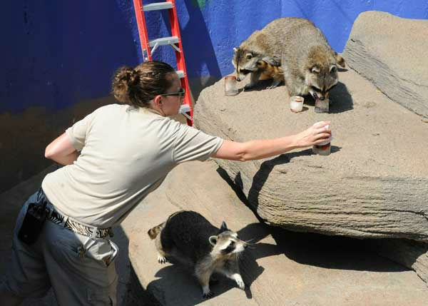 Francine Lescher, a senior zookeeper for the Chicago Zoological Society, places small ice blocks filled with a variety of fruit, into the raccoon?s exhibit at Brookfield Zoo. <span class=meta>(Jim Schulz&#47;Chicago Zoological Society)</span>