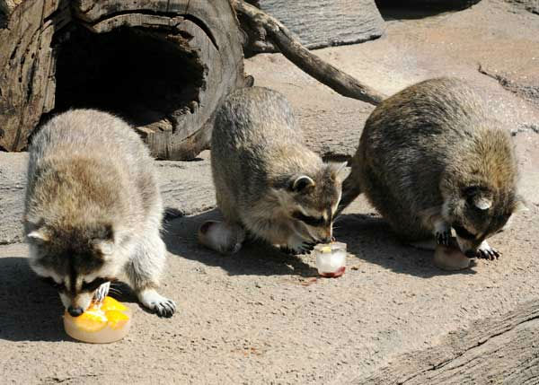 &#40;pictured left to right&#41; Brookfield Zoo?s three raccoons, 11-year-old brothers Ranger, Scout, and Bandit, seem to be enjoying their ice treats. <span class=meta>(Jim Schulz&#47;Chicago Zoological Society)</span>