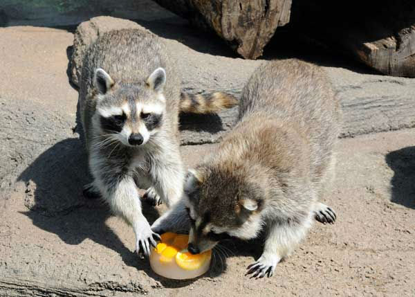 "<div class=""meta ""><span class=""caption-text "">Bandit (left) and Scout, 11-year-old brothers at Brookfield Zoo, received small blocks of ice filled with oranges today to cool off. (Jim Schulz/Chicago Zoological Society)</span></div>"