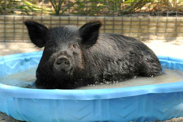 "<div class=""meta ""><span class=""caption-text "">Honey, a 2-year-old American Guinea hog at Brookfield Zoo, cools off in a pool of water. (Jim Schulz/Chicago Zoological Society)</span></div>"