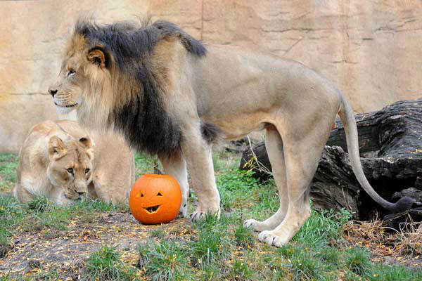 Isis, a 7-year-old female African lion, appears to be getting ready to pounce on one of the pumpkins she and her partner, Zenda, 6, received at Brookfield Zoo today. Zookeepers carved the pumpkins and filled them with meat. During the fall season, many of the zoo?s other animals will be receiving pumpkins too. Zoo guests can see some of the animals receiving pumpkins during the annual Boo! at the Zoo celebration this coming weekend, October 27 and 28 <span class=meta>(Photo&#47;)</span>