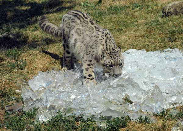 With temperatures in the triple digits, Sabu, a 2-year-old snow leopard at Brookfield Zoo, seems to be enjoying the crushed ice zookeepers gave him today. <span class=meta>(Jim Schulz&#47;Chicago Zoological Society)</span>