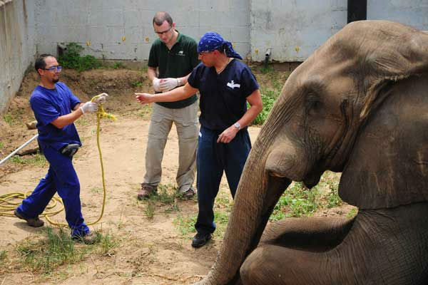 Dr. Camilo Tapia, head of the Veterinary Department at Barranquilla Zoo, and Drs. Michael Adkesson and Carlos Sanchez, associate veterinarians for the Chicago Zoological Society?s Brookfield Zoo, assess the elephant during the induction of anesthesia. <span class=meta>(Photo&#47;Barranquilla Zoo)</span>