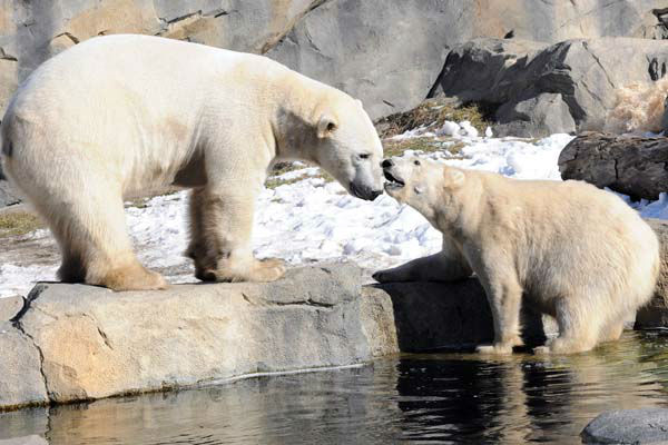 Polar Bear Day is every day at Brookfield Zoo?s Great Bear Wilderness.  <span class=meta>(Chicago Zoological Society&#47;Brookfield Zoo)</span>